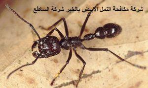 مكافحة النمل الابيض بالخبر
