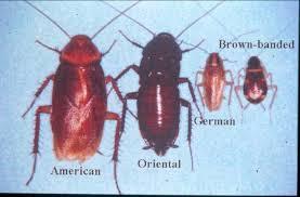 انواع الصراصير
