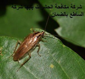 شركة مكافحة الحشرات بابها